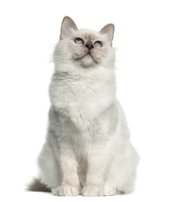 Birman, 5 months old against white background