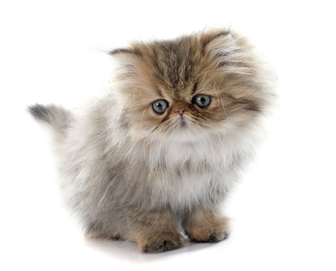 persian-cats-and-kittens-10