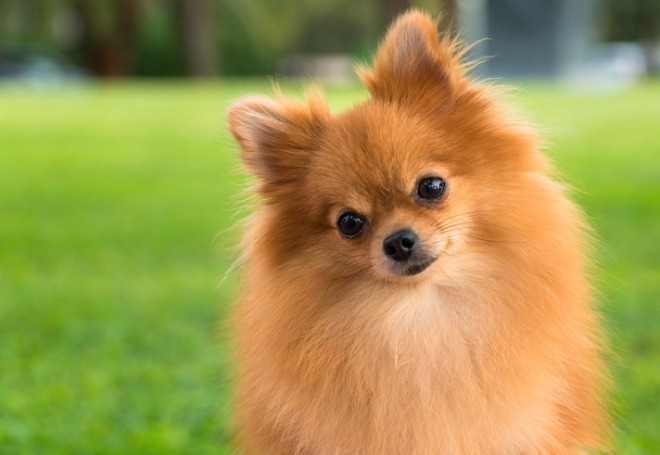 A-pretty-pomeranian-female-dog-on-a-blurry-grass-background