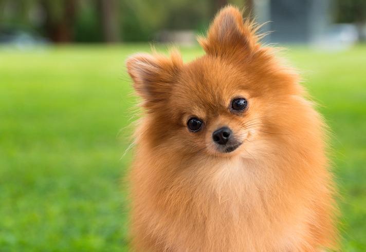A-pretty-pomeranian-female-dog-on-a-blurry-grass-background