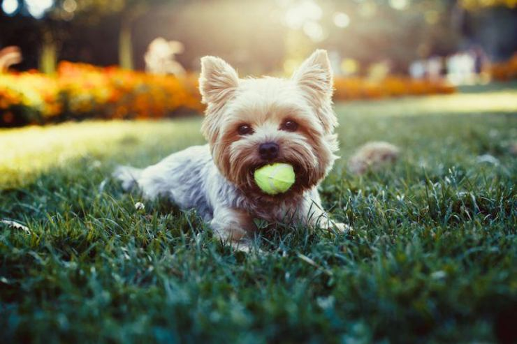 Beautiful-yorkshire-terrier-playing-with-a-ball-on-a-grass-768x512