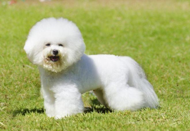 Bichon-Frise-dog-768x530