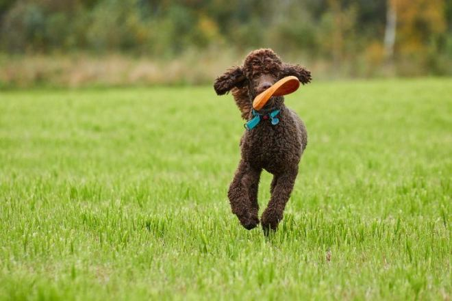 Brown-poodle-running-with-a-toy-768x512