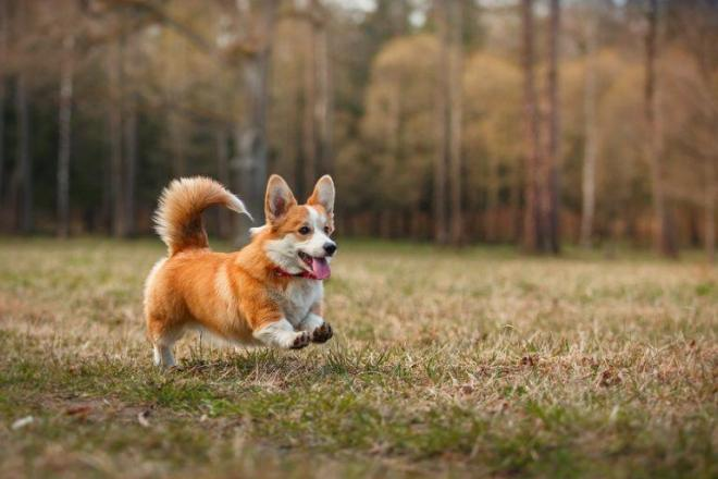 Dog-breed-Welsh-Corgi-Pembroke-768x512