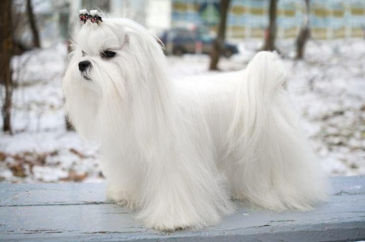 Maltese-Dog-768x510