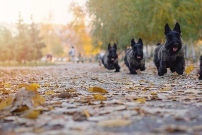 Multiple-scottish-terrier-run-in-a-park-768x512