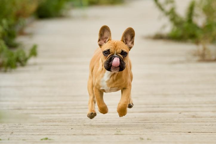Running-French-Bulldog-Puppy