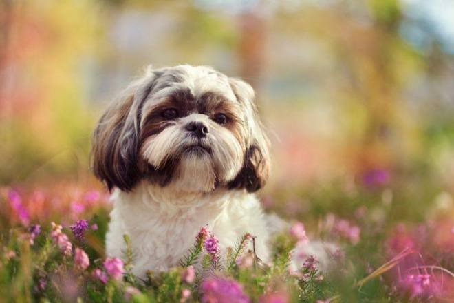 Shih-tzu-in-nature-768x512